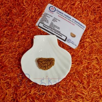 1 Mukhi Kaju Dana Rudraksha with Certificate